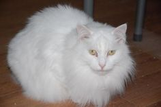 Meet Michelle, a Petfinder adoptable Domestic Medium Hair-white Cat   Alpharetta, GA   I am a lovely long haired lady who was brought to CITC for my own protection. I was not happy about...