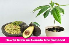 How to Grow an Avocado Tree from Seed   http://www.iluvdiy.com/how-to-grow-an-avocado-tree-from-seed/