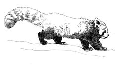 red panda line drawing - Google Search