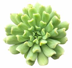 55 Types of Succulents & Cacti - Growing Tips and Photos Types Of Cactus Plants, Cactus House Plants, Indoor Cactus, Types Of Succulents, Succulents In Containers, Cacti And Succulents, Planting Succulents, Cactus Cactus, Succulent Gardening