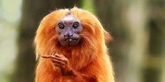 petition: Save The Precious Golden Lion Tamarin Monkey!
