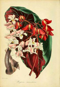 Begonia ramentacea - circa 1839