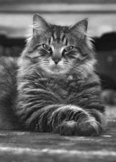 Maine Coon cat with crossed paws.