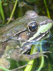 My pond frog, have 3.  They have been around for about 2 years now. WKP