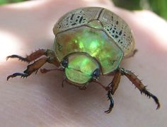 Australian Christmas Beetle...The kids tell them what they want for Christmas, then they fly back to Santa & tell him.