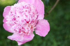 noodlehead has the prettiest peony i have seen...love this