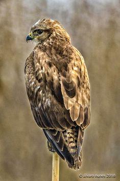 Águia-d'asa-redonda | Common buzzard | Buteo buteo