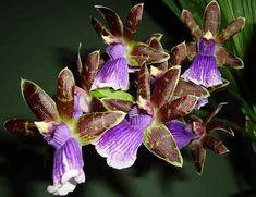 Орхидеи, относящиеся к роду зигопеталум — это невысокие растения. Цветоносы достигают 30 — 60 см в высоту, а цветки 5 см в диаметре.
