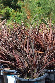 Plant Catalog - PHORMIUM BRONZE BABY 5