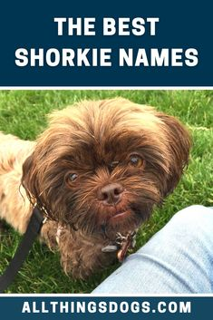 If you want a fiercely independent, tenacious and brave comrade, this Shih Tzu Yorkie mix is the dog for you. And these badass feisty dogs should have feisty Shorkie names to match. Read our guide for some ideas.  #shorkie #shorkienames #shihtzuyorkiemix Best Dog Names, Cool Names, Shorkie Puppies, Cute Puppies, Cute Puppy Names, Pet Grooming, Pet Health, Rottweiler, Shih Tzu