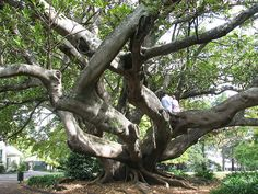 A magnificent fig tree. 21st March 2007 by JIGGS IMAGES, via Flickr