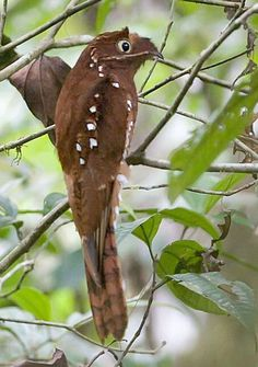 "Rufous Potoo - The rufous potoo (Nyctibius bracteatus) is a species of bird in the Nyctibiidae family. Its common name refers to its rufous, or reddish-brown color. Their species name bracteatus is Latin for ""gold-leaf"". It is found in Ecuador, (the northeast, about 25% of the country), and Peru in the largest population, and the other large disjunct population southwest at the Peru and Bolivia border.  - Gareno Lodge, Ecuador - Nov, 2005 © Lou Hegedus"