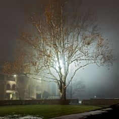 The sycamore tree in the Keeneland paddock is one of the oldest on the property. Photo by TeamCoyle.