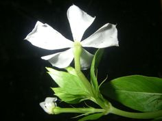 Catharanthus lanceus (Lance-leaf Periwinkle) is a herbaceous perennial plant up to 3.3 feet (1 m) tall, with a carrot-shaped taproot up to...