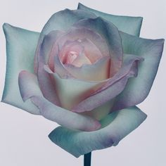 Rose from my archive . #rose #bdicolourprinting #briandowling. 16th April 2013