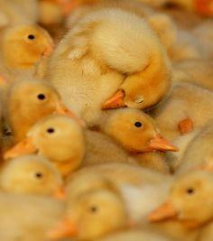 Ducklings ozopanda: Patitos