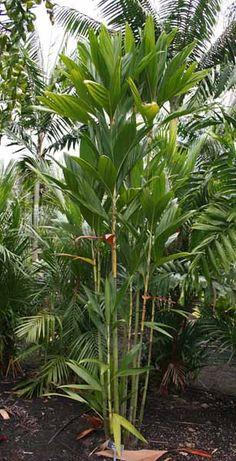 Dypsis procera - native to Madagascar - grows to 4.5 metres