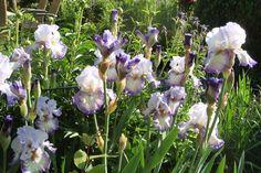 "Iris ""Spinning Wheel"" im Frühling 2017 Spinning, Iris, Terrace, Plants, Lawn And Garden, Seasons Of The Year, Hand Spinning, Balcony, Patio"