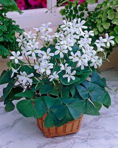 Sievä huonekasvi myös parvekkeelle. Plants, Plant, Planets