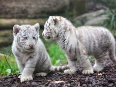 The freshly launched compilation of white tiger cub amazing desktop new wallpapers