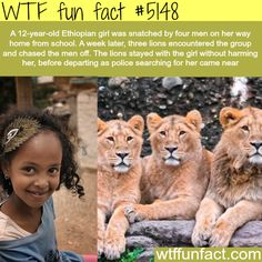 Ethiopian girl is saved by three lions – WTF fun facts. That's a beautiful … Ethiopian girl is saved by three lions – WTF fun facts. That's a beautiful story. I love that story. Please save the wildlife before they become extinct. Animals And Pets, Funny Animals, Cute Animals, Brave Animals, Lion Facts, Wtf Fun Facts, Random Facts, Crazy Facts, Funny Facts