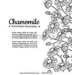 Chamomile vector drawing frame. Isolated daisy wild flower and leaves. Herbal engraved style illustration. Detailed botanical sketch for tea, organic cosmetic, medicine, aromatherapy