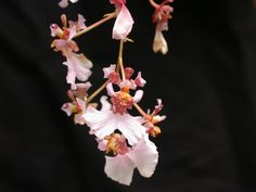 Oncidium variegatum | Flickr - Photo Sharing!