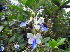 My Nice Garden: Blue Butterfly Flower Clerodendrum ugandense
