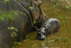 March 4, 2014, new baby hippo at Chapultepec Zoo, México City Mexico.