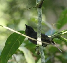 5990. Pygmy Drongo (Chaetorhynchus papuensis) | New Guinea