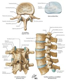 Anatomy of a Lumbar vertebrae Human Skeleton Anatomy, Human Body Anatomy, Human Anatomy And Physiology, Anatomy Bones, Skull Anatomy, Ear Anatomy, Medical Coding, Medical Science, Musculoskeletal System