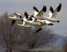 Ross geese by KT Thurgood