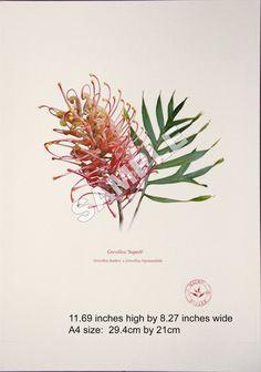 Botanical art print, unframed.