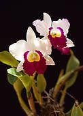 Foto - branca, cattleya, orquídea, ligado, experiência preta k16002167 - Busca de Imagens Fotográficas, Impressões, e Fotos Clipart - k16002167.jpg