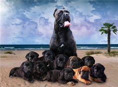 #Cane #Corso #Dogs