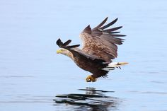 Mull sea eagles diary: Mull Eagle Watch a Five Star wildlife attraction