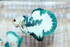 Pretty Fish, Beautiful Fish, Pretty Birds, Animals Beautiful, Freshwater Aquarium, Aquarium Fish, Betta Fish Types, Underwater Animals, Beta Fish