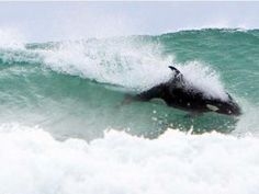 Orca in New Zealand ..Surfing!
