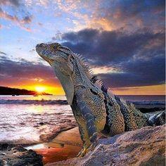Iguana  |  https://www.facebook.com/undergroundreptiles/photos/a.126322287394306.20216.116954851664383/1038780122815180/?type=1