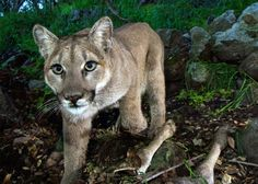 Many states are considering increased hunting of the big cats, and that's a big problem, conservationists say.