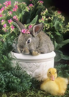 Rabbits and ducklings - # animal bunnies - Rabbits and ducklings – # animal bunnies, # Animal bunnies - Cute Baby Bunnies, Cute Baby Animals, Animals And Pets, Easter Pictures, Animal Pictures, Wild Animals Photos, Fluffy Bunny, Easter Art, Fauna