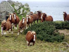 ..When is the Bretons herd of Bernard Magueur on the coast of Finistere in motion, shaking the earth. Author:	 Godehart
