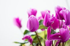 Pink flowers Tulips Nature Garden Green Wonderful nature Outdoors Home / Clickasnap
