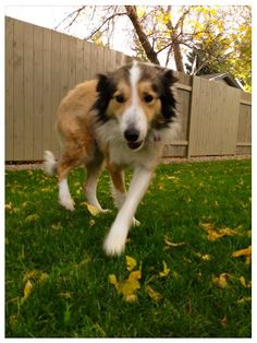 """Cinda is a gorgeous 8 year old dog. About 19"""" tall and just under 50lbs. Cinda is lovely girl who knows a bunch of obedience including walking politely. Cinda does get scared with loud noises but is working on that with her foster home and is..."""