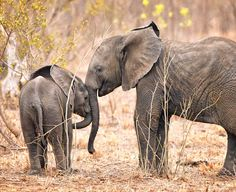 Tender Moment A very tender moment between two young wild elephants in Sabi Sands Game Reserve in South Africa last week….