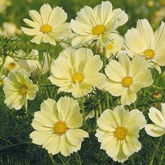 Cosmos Xanthos Mr Fothergill's Range Seed - Irish Plants Direct