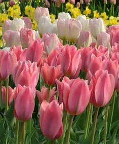 Tulip Albert Heijn - Emperor Tulips - Tulips - Flower Bulb Index