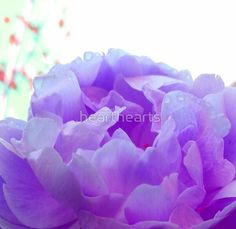 A beautiful peony flower in a purple color. Purple Peonies, Purple Flowers, Purple Flower Photos, Peony Flower, Top Artists, Rose, Plants, Beautiful, Color