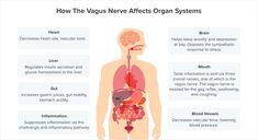 Optimizing the functions of the vagus nerve helps you handle stress, reduce chronic inflammation, and form important neurotransmitters. Vagus Nerve Damage, Nerve Damage Symptoms, Gut Brain, Brain Stem, Diabetes, Autonomic Nervous System, Cranial Nerves, Metabolic Syndrome, Neurotransmitters