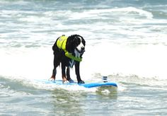 """Nani"", a Bernese Mountain Dog was a big surf competitor (Surf Dogs Break Guinness World Records in San Diego)"